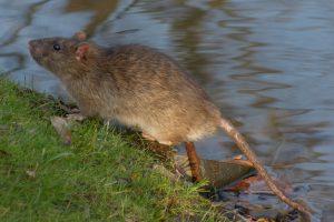 Rat de Norvège
