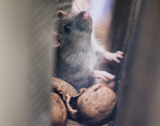 Une souris cachée dans une cloison