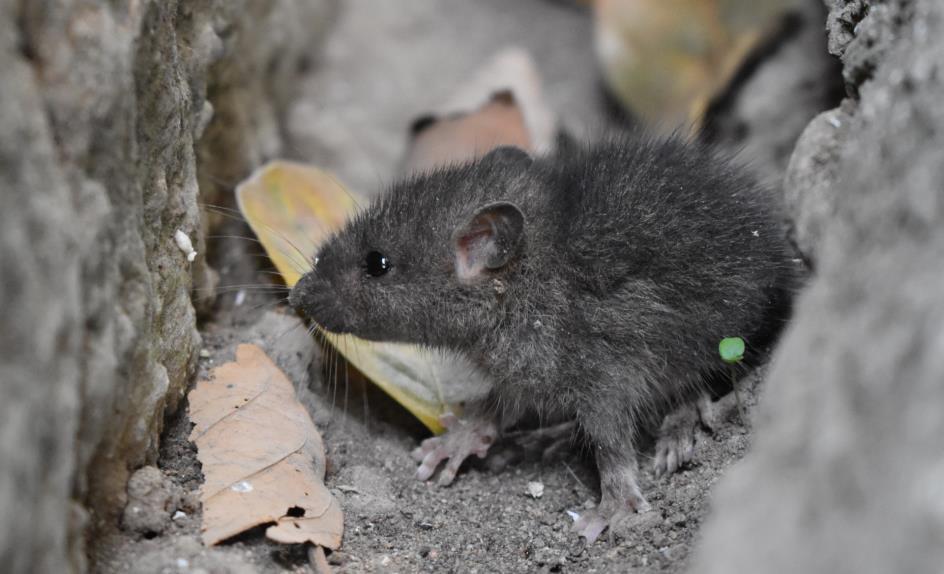 Une souris dans un endroit sale