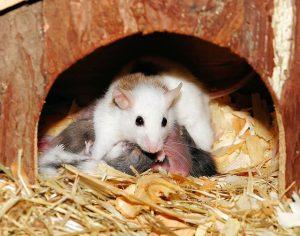 nid de souris avec litière