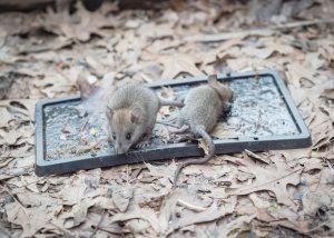 Des souris dans un piège à colle