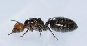 Reine des fourmis charpentieres