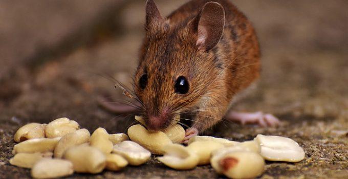 Souris Mangeant Des Cacahuètes