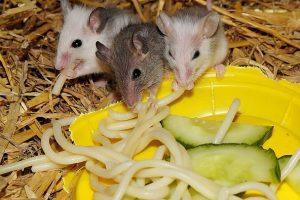 souris mangeant des pâtes