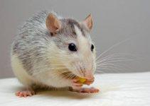 Une souris qu'on veut faire sortir de sa cachette