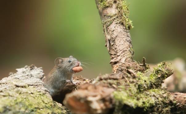 Une souris cachée qui mange