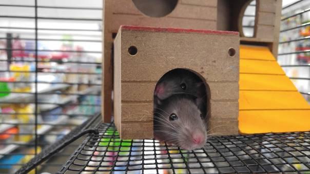 Une souris dans une cage