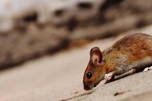 Une souris est-elle différente d'un rat ?