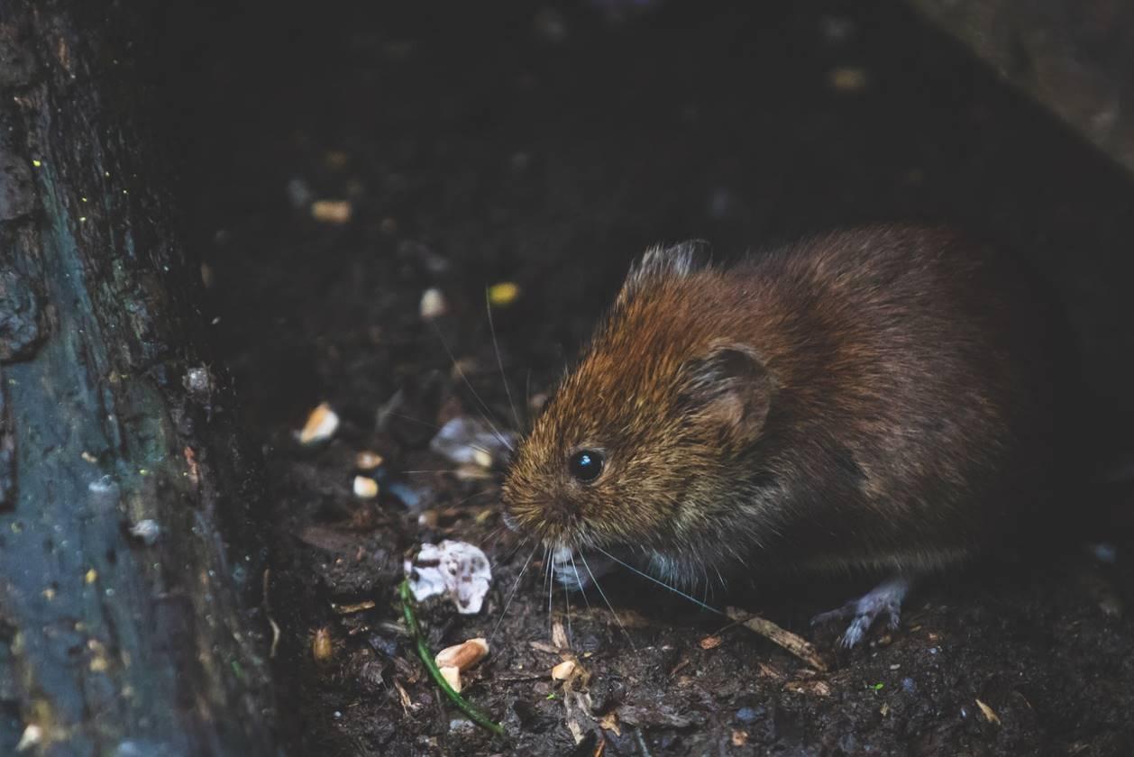 Un rat qui mange
