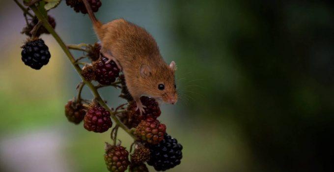 Une souris qui mange des mûres