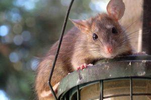 Un rat perché sur un lampadaire