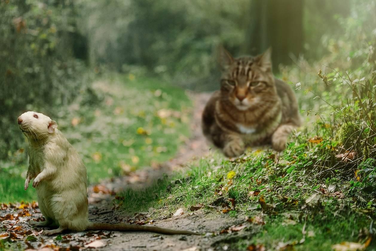 Un chat qui se prépare à attaquer un rat