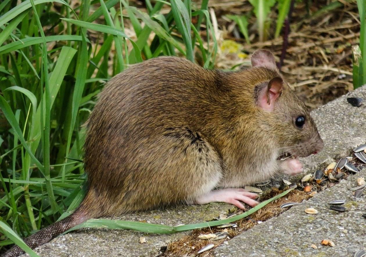 Un rat qui mange des graines sur un trottoir