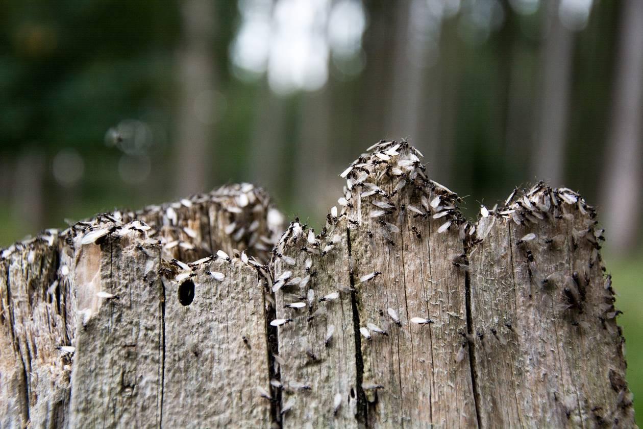 De nombreuses fourmis ailées sur un morceau de bois