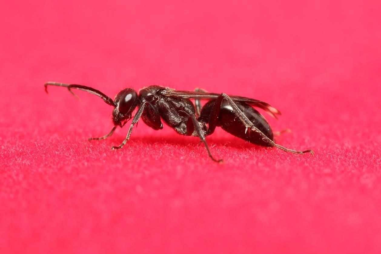 Une fourmi volante sur fond rouge