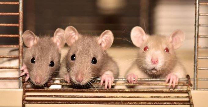 Les souris et les rats sont attirés par les maisons