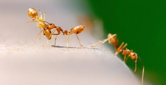 Des fourmis qui mangent