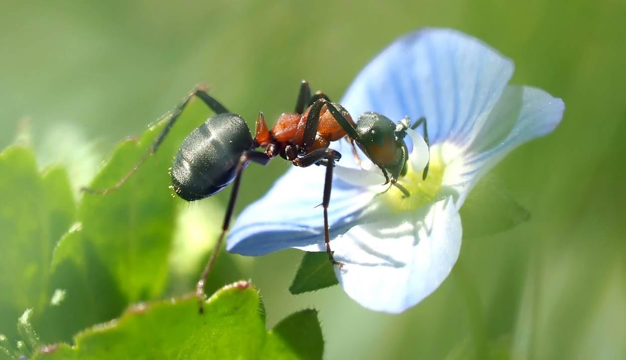 Une fourmi qui aspire du nectar