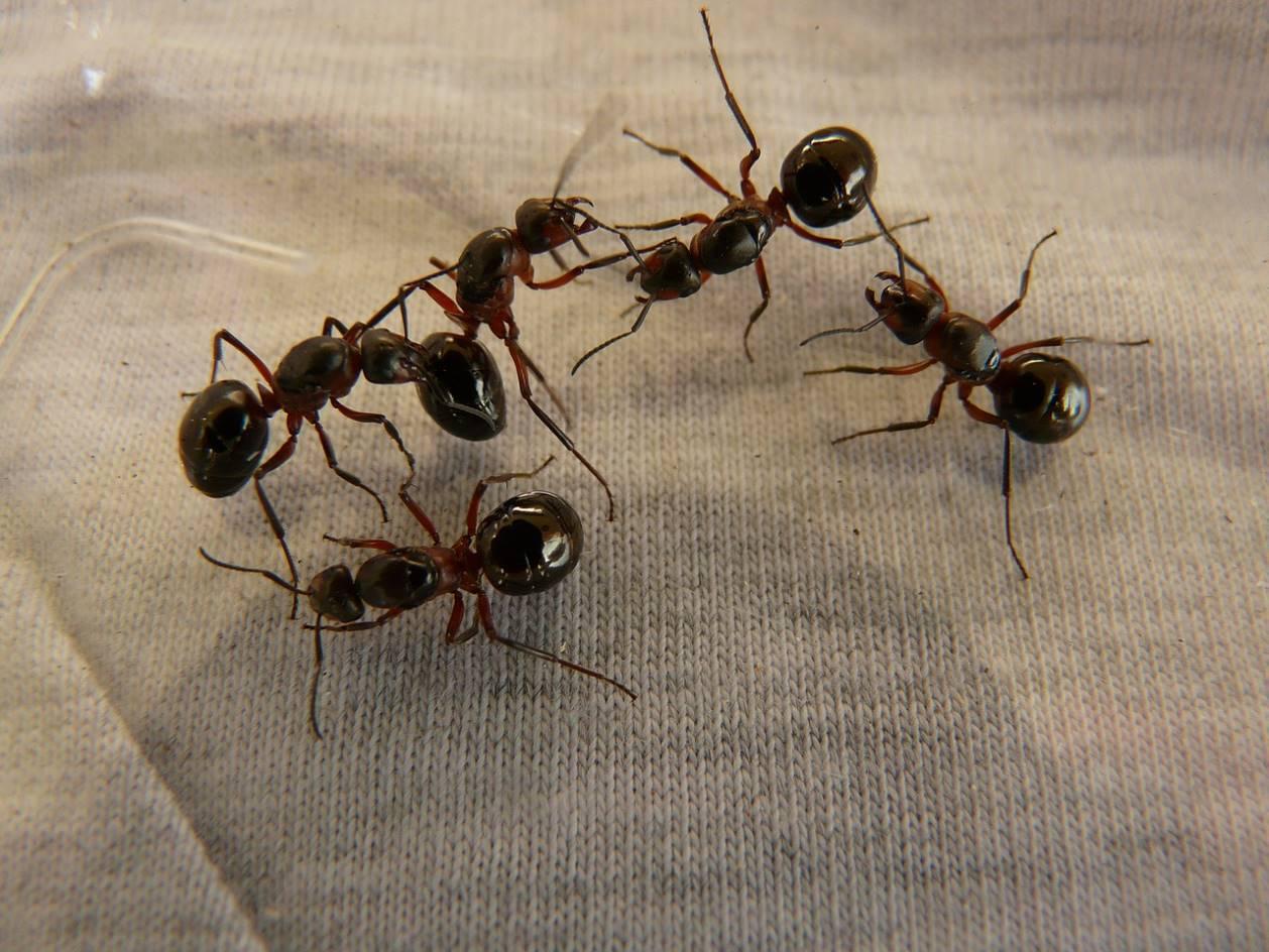 Plusieurs fourmis d'Argentine