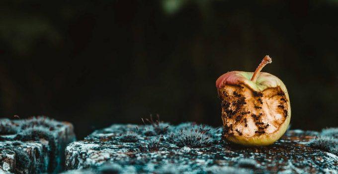 Des fourmis qui mangent une pomme dans une maison
