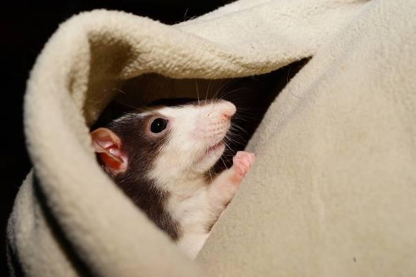 Un rongeur caché dans une couverture