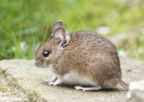 Les endroits par lesquels rentrent les souris et les rats