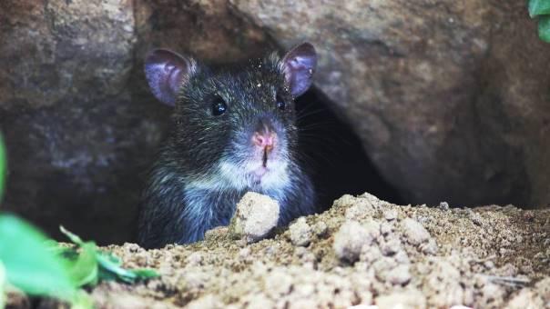 Un rat caché dans un trou