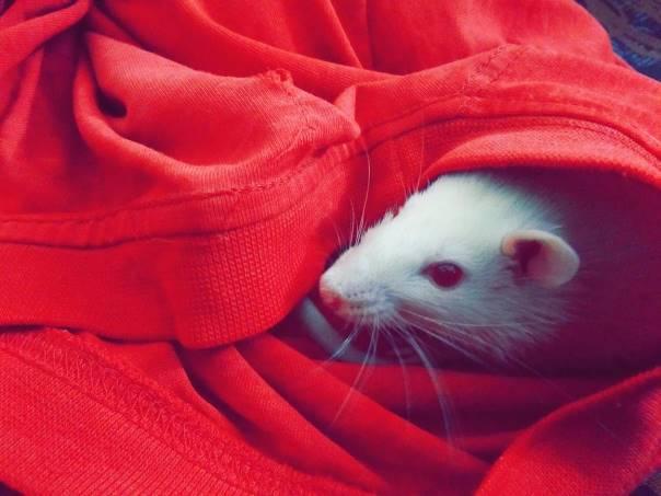 Un rat albinos dans des vêtements
